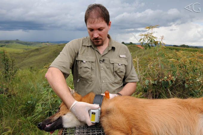 homem colocando uma coleira elétrica para proteger um animal selvagem